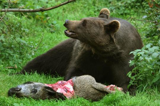 Braunbaer-Braun-Baer-Ursus-arctos-brown-bear